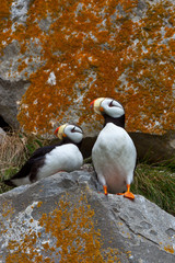 Puffins on a lichen-covered cliff. Horned puffins, Fratercula corniculata, Lake Clark National Park, Alaska, USA