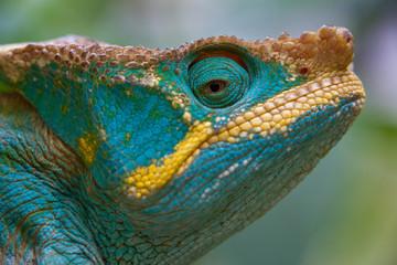 Parson's Chameleon, Calumma parsonii, Madagascar
