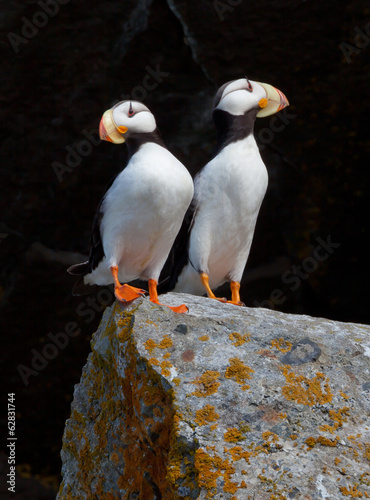 White-chested puffins, Fratercula corniculata, Horned puffins, Lake Clark National Park, Alaska, USA.