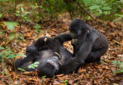 A mountain gorilla family. Three animals in the wild in Rwanda. Gorilla beringei beringei,