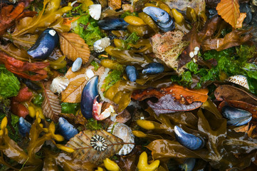 Mussels, seaweed and kelp alder leaves, San Juan Islands, Washington, USA.
