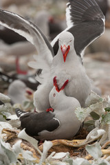 Dolphin gulls, Falkland Islands