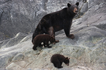 Black bear and cubs, Glacier National Park and Preserve, Alaska, USA