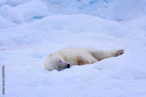A polar bear sleeps on a bed of snow, Svalbard, Norway, Ursus maritimus,