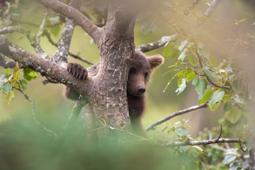 Brown bear cub climbing a tree, Katmai National Park, Alaska, USA