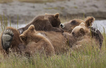 Brown bear cubs nursing, Lake Clark National Park, Alaska, USA