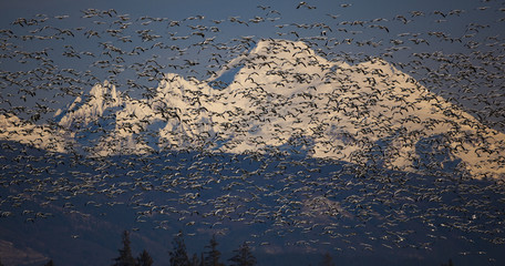 Flock of snow geese in flight with Mt. Baker behind, Skagit Valley, Washington, USA