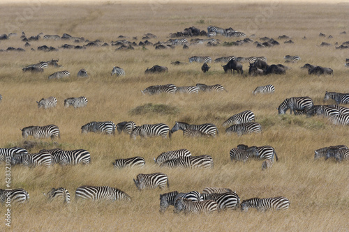 Grant's zebras and wildebeests, Kenya