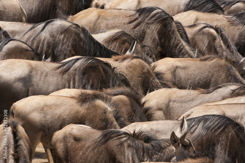 Wildebeests, Kenya