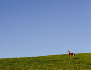 Black-tailed deer on a grassy hillside in Point Reyes National Seashore, in Marin Country, California.