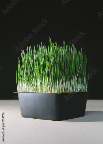 A shallow tray of organic wheatgrass in a growing medium. Green and white stems.