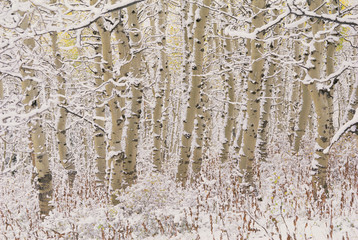 A forest of aspen trees in the Wasatch mountains, with white bark. Snow covering on the ground.