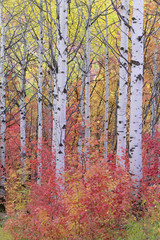 A forest of aspen trees in the Wasatch mountains, with striking yellow and red autumn foliage.