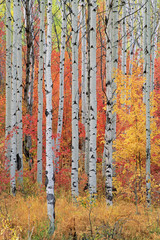 A forest of aspen and maple trees in the Wasatch mountains, with striking yellow and red autumn foliage.