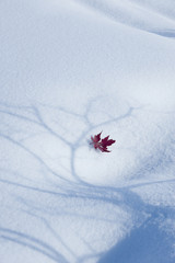 An autumnal red maple leaf lying on snow. The shadow of a tree with spreading branches on the white surface.