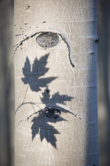 An aspen tree with smooth white bark. The outline shadow of three maple leaves on the trunk.