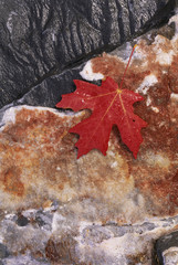 A rich red autumn maple leaf, laid on a flat rock covered with brown lichen.