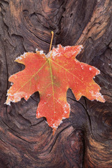 A frosted red brown maple leaf, autumn foliage with ice crystals around the edge. A gnarled wood surface.