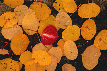 Autumnal aspen leaves. Brown leaves spread out on black rock, with one vivid red leaf in the centre.