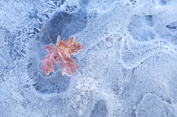 A red autumnal maple leaf frozen in the ice.