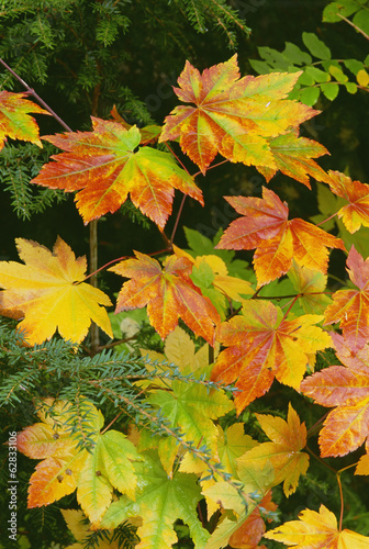 Autumn vine maple leaves, turning from green through gold to red in the autumn.
