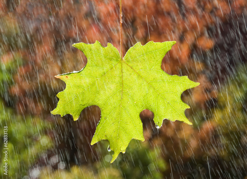 A vivid green maple leaf glistening in the rain, against a background of brown autumn leaves.