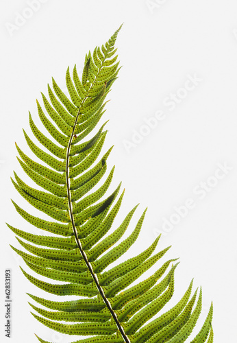 Western sword fern, a single leaf with leaves spaced evenly up the stem. Polystichum munitum.