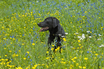 A black Labrador retriever dog sitting in a meadow of tall grasses and yellow wild flowers.