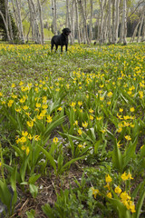 A black Labrador retriever dog in a meadow of tall grasses and yellow wild flowers, such as glacial lilies.
