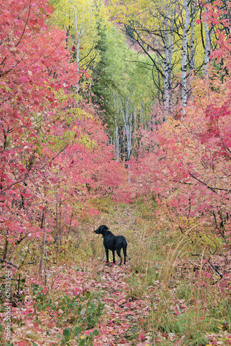 A black Labrador retriever dog in autumn woodland. Tall trees with red and green foliage.
