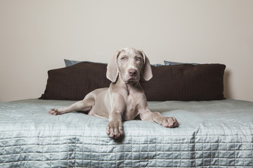 A Weimaraner puppy sitting alert on a bed.
