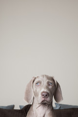 A Weimaraner puppy on a bed. Looking directly ahead.