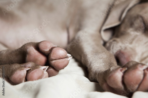 A Weimaraner puppy sleeping on a bed.