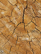 Close up of cross section from cut Ponderosa Pine tree, tree rings visible, near Blewett Pass