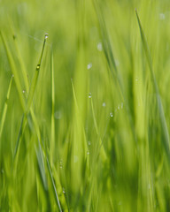 Close up of water drops on blades of lush, green grass, Olympic NP