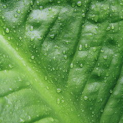 Close up of water drops on lush, green Skunk cabbage leaves (Lysichiton americanus), Hoh Rainforest, Olympic NP