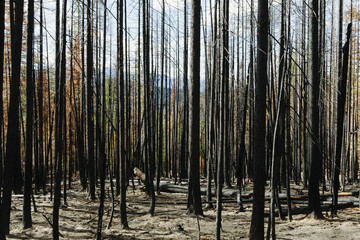 Fire damaged trees and forest (from the 2012 Table Mountain Fire), Okanogan-Wenatchee NF, near Blewett Pass