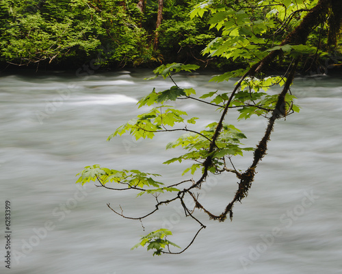 Big leaf maple tree (Acer macrophyllum) and Dosewallips River, Olympic NP
