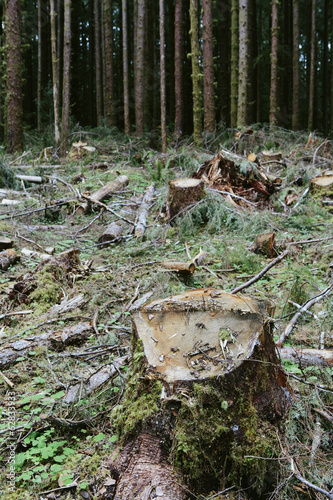 Recently logged Sitka Spruce and Western Hemlock logs, Olympic NF