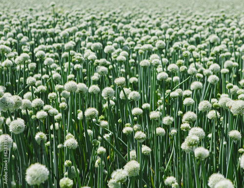 Large crop of blooming Walla Walla Sweet Onions, near Quincy