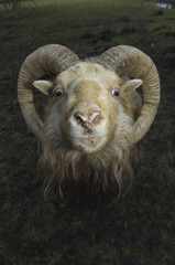 A ram with curved horns on a farm.