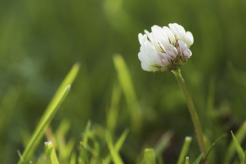 Close up of a clover flower in the grass.