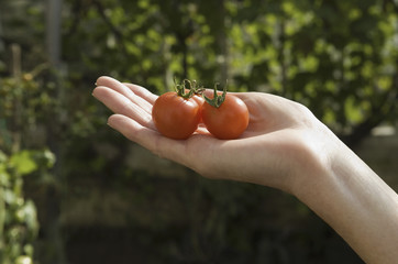 A woman's hand with a group of fresh red tomatoes.