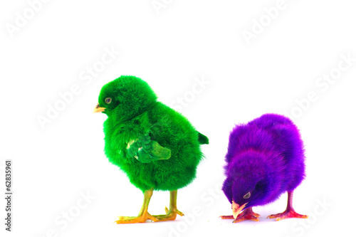 Colorful cute little baby chicken against white background