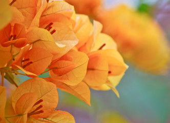 orange  bougainvillea flower in garden