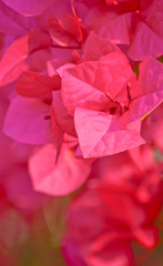 Pink bougainvillea flower in garden