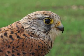 Cernícalo vulgar, Falco tinnunculus