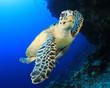 Sea Turtle - 62841798