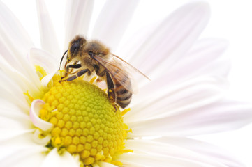 Honeybee and white flower