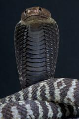 Spitting cobra / Naja nigricincta